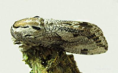 Trismelasmos donovani (Cossidae)