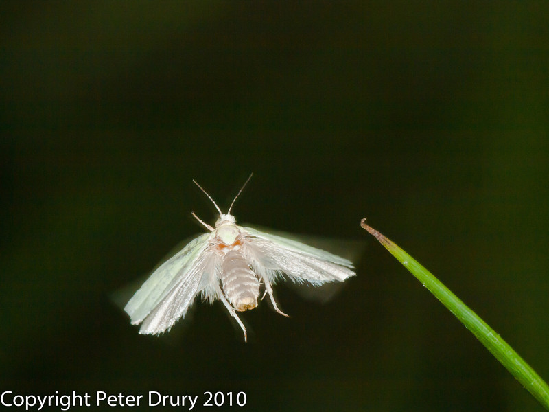 Water Veneer (Acentria ephemerella). Copyright Peter Drury 2010