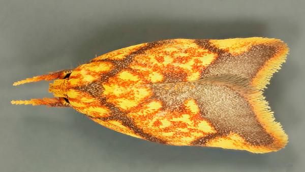Depressariidae sp. (Depressariidae)