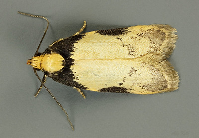 Depressariidae sp. 'black and gold' (Depressariidae)