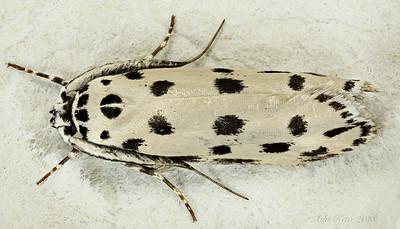 Ethmia sphaerosticha Meyrick, 1887 (Ethmiidae)