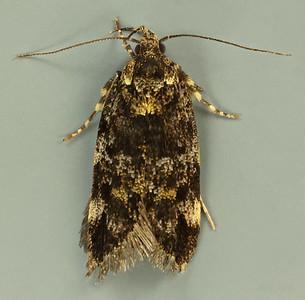Barea sp. (Oecophoridae)