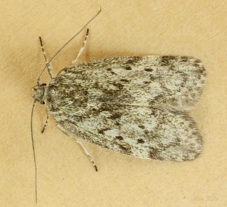 Philobota philostaura Meyrick, 1883 (Oecophoridae)