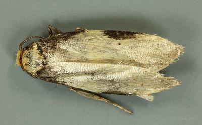 Elaeonoma deltacostamela Lower, 1896 (Oecophoridae)
