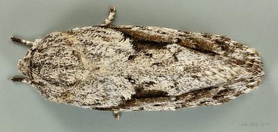 Agriophara confertella Walker, 1864 (Oecophoridae)