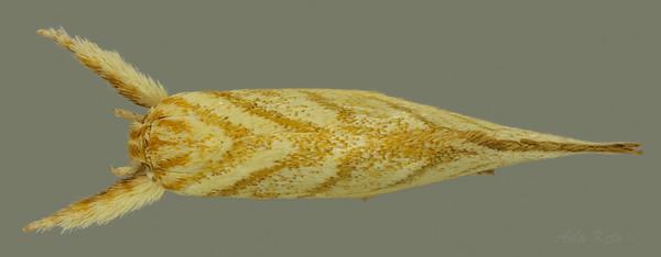 Lepidotarsa pentascia Turner, 1917 (Oecophoridae)