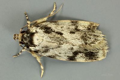 Barea confusella? Walker, 1864 (Oecophoridae)