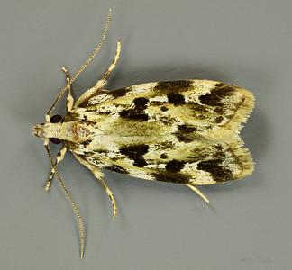 Oecophorinae sp. (Oecophoridae)