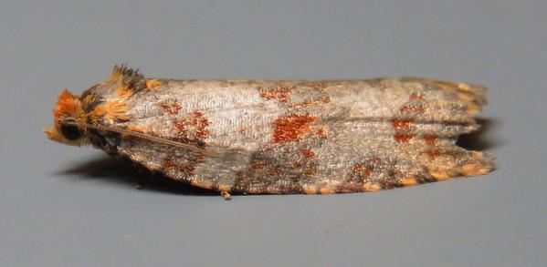 Oecophoridae Gallery