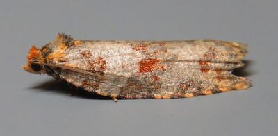 Unidentified species (Oecophoridae)
