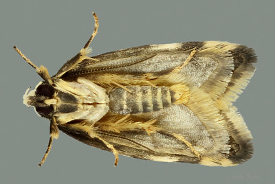 Cosmaresta charaxias (Oecophoridae)