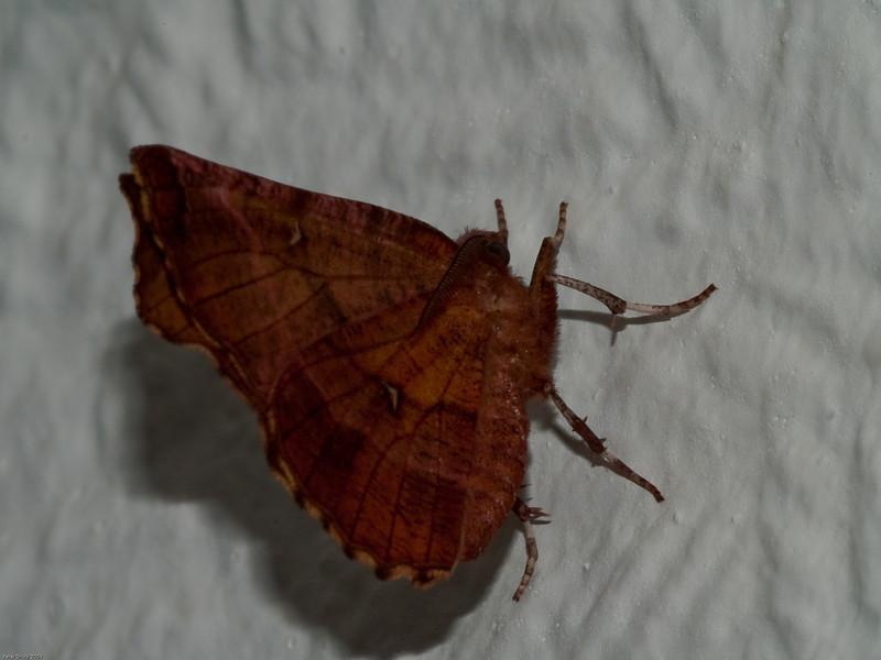 Early Thorn (Selenia dentaria). Copyright 2009 Peter Drury