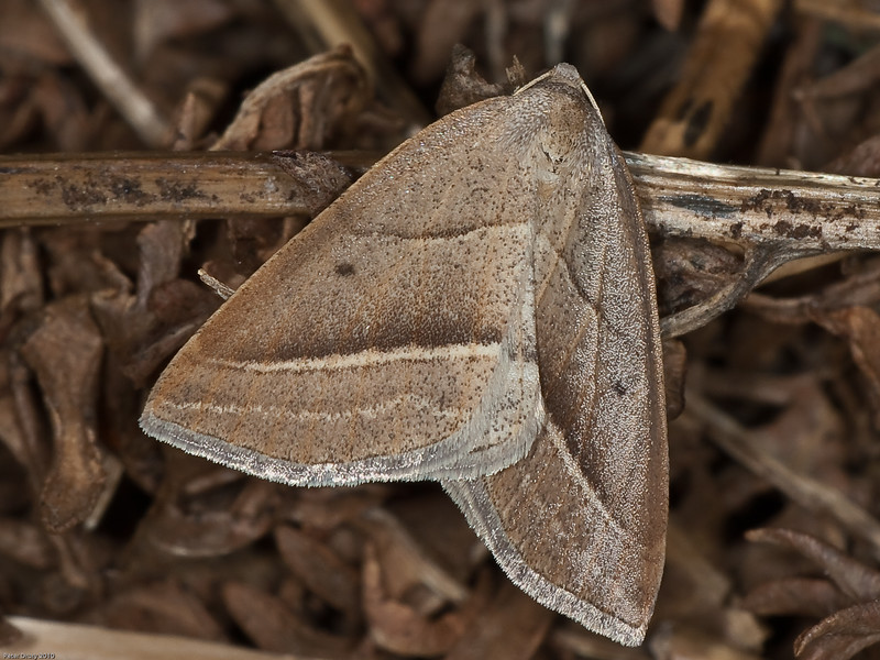 Brown Silver-line (Petrophora chlorosata). Copyright Peter Drury 2010<br /> This moth is a little early this year being seen on the clearing under the pylons at Creech Woods on Apil 27th. The prolonged period of warm sunny weather we have had is likely to have caused this.