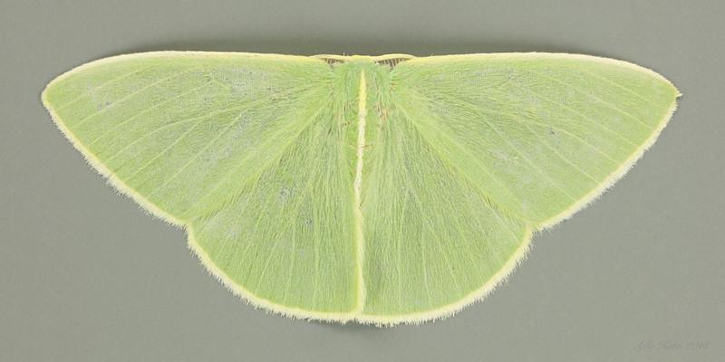 Chloeres citrolimbaria Guenée, 1857 (Geometridae)