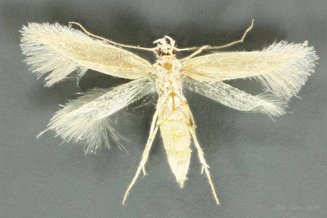 Ogmograptis sp. (Bucculatricidae)