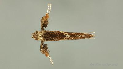Caloptilia sp. (Gracillariidae)