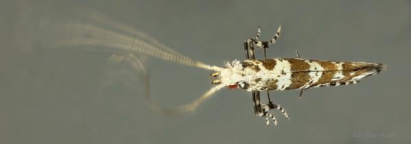 Gibbovalva quadrifasciata Stainton, 1863 (Gracillariidae)
