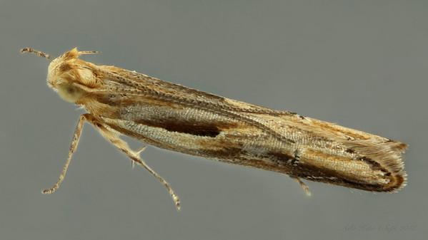 Gracillariidae sp. (Gracillariidae)