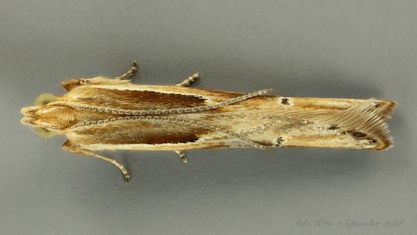 Gelechiidae sp. (Gelechiidae)