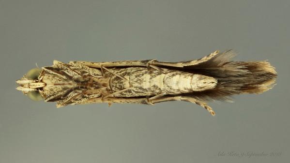 Gracillariinae sp. (Gracillariidae)