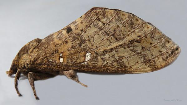 Oxycanus buluwandji  (Hepialidae)