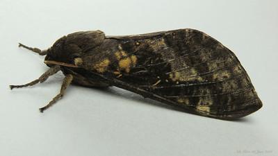 Oxycanus naias (Hepialidae)