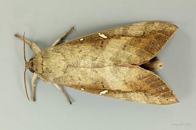 Oxycanus beltista (Hepialidae)