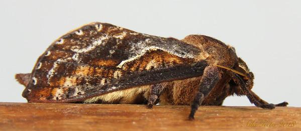 Elhamma australasiae Walker, 1856 (Hepialidae)