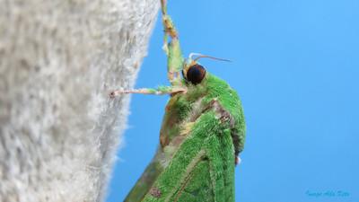 Aenetus scotti (Hepialidae)
