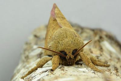 Oxycanus sp. (Hepialidae)