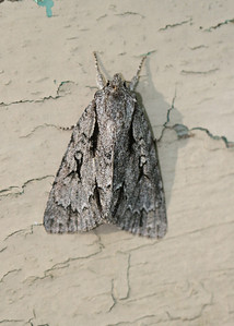 Great Oak Dagger Moth (Acronicta lobeliae)