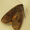 . Lesser Yellow Underwing