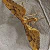 Barred Straw (Gandaritis pyraliata)