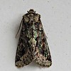 Green Brindled Crescent