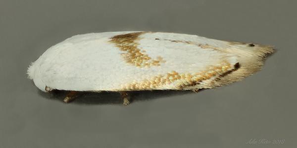 Possibly Opostegoides gephyraea Meyrick, 1881 (Opostegidae)