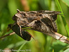 25 July 2010 - Silver Y (Autographa gamma). Copyright Peter Drury 2010