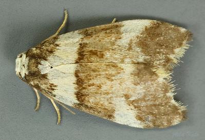 Halone sejuncta R. Felder & Rogenhofer, 1875 (Erebidae)