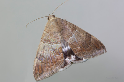 Achaea serva (Erebidae)