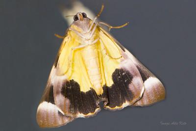 Ophiusa parcemacula (Erebidae)