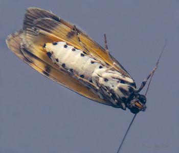 Digama mamorea (Erebidae)
