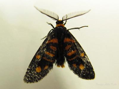 Asura zebrina (Erebidae)
