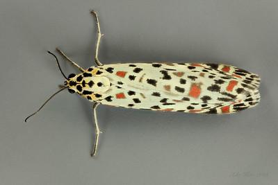 Opostegoides gephyraea Meyrick, 1881 (Opostegidae)