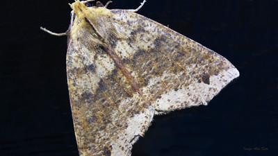 Possibly Anomis sp. (Noctuidae)
