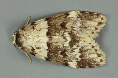 Halone interspersa (Eerebidae)