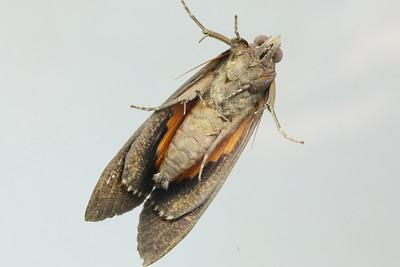 Eudocima fullonia (Erebidae)