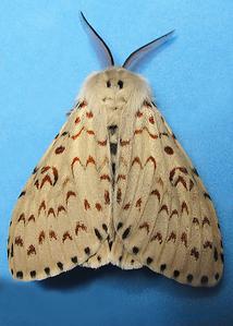 Lymantria nephrographa (Erebidae)