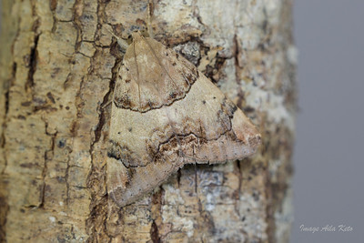 Achaea janata (Erebidae)