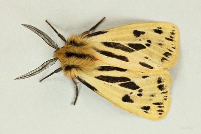 Ardices (Australemyra) curvata (Erebidae)