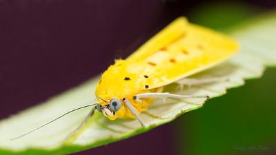 Agape chloropyga (Erebidae)