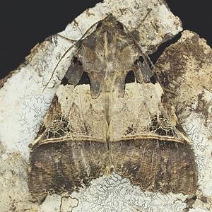 Serrodes campana (Erebidae)